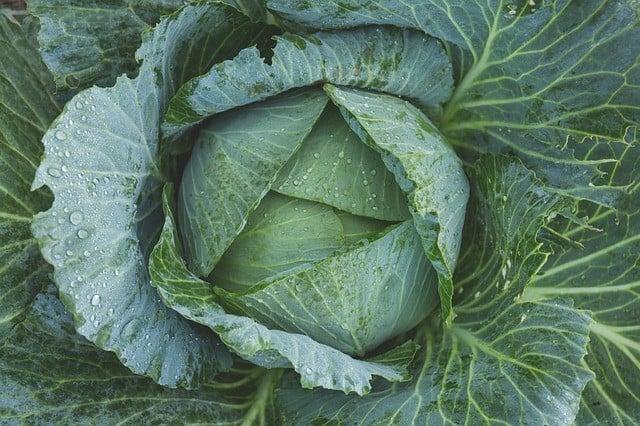 juicing cabbage